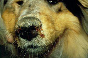 Canine_distemper